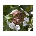 Viburnum sargentii 'Onondaga' - Viorne