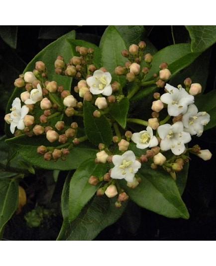 Viburnum tinus 'Eve Price' -Laurier-Tin