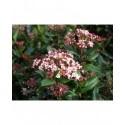 Viburnum tinus 'Gwenllian' - Laurier-Tin