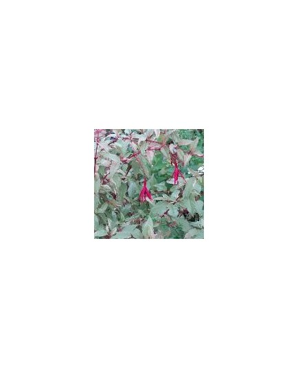 Fuchsia magellanica ' Versicolor'