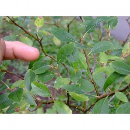 Salix basaltica x , saule de l'Aubrac, saule du basalte