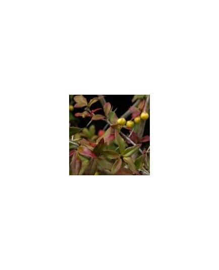 Berberis hybrido-gagnepainii 'Chenaultii'