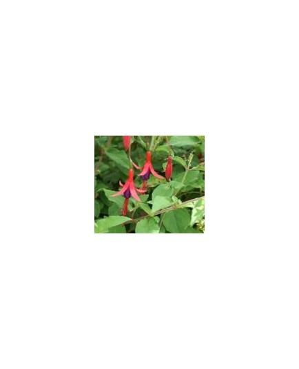 Fuchsia magellanica 'Riccartonii'- fuchsia vivace, fuchsia de magellan