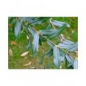 Salix amplexicaulis - saule