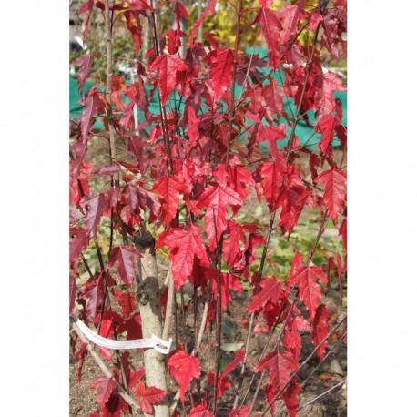 Acer tataricum subsp. ginnala -Erable de Chine, érable de Tatarie
