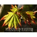 Acer cappadocicum 'Rubrum' - érables
