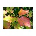 Acer rufinerve - érables à peau de serpent