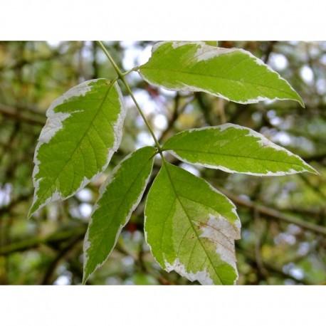Acer negundo 'Variegatum' - Erable à feuilles composées
