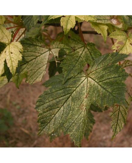 Acer pseudoplatanus 'Brillantissimum' - érable sycomore