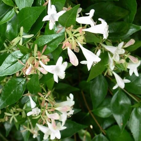 Abelia grandiflora x 'Sherwood' - Abelia