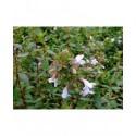 Abelia grandiflora x 'Sherwoodii' - Abelia