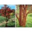Acer griseum -érables cannelle, érables à écorce de papier,