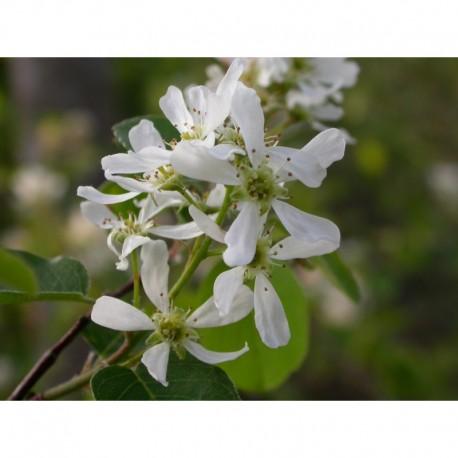Amelanchier ovalis 'Pumila' - Rosaceae