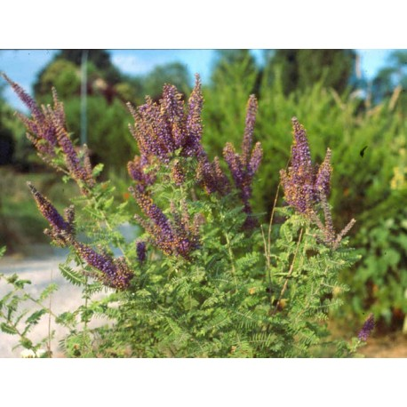 Amorpha canescens - Faux indigotier