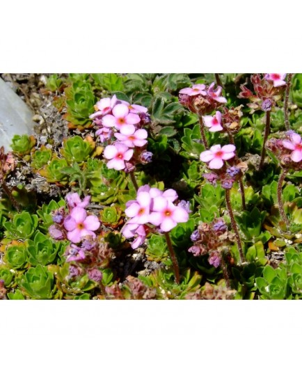 Androsace sempervivoides - Androsace