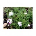 Androsace villosa - Androsace velue