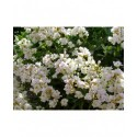 Arabis caucasica 'Plena' - Arabette double
