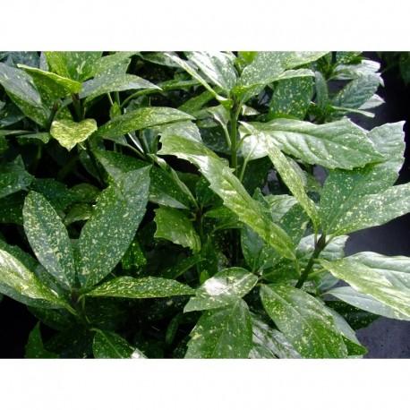 Aucuba japonica 'Variegata' -