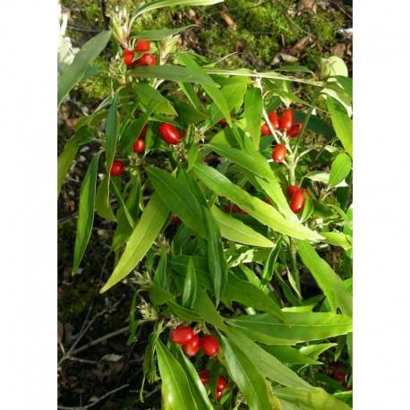 Aucuba japonica 'Salicifolia'