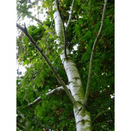 Betula pendula - bouleau commun