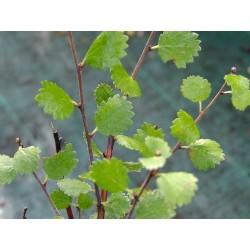 Betula nana - Betulaceae - Bouleau nain