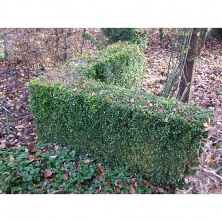 Buxus sempervirens - buis communs, bois bénit