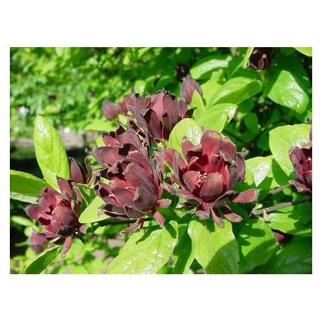 Calycanthus floridus - Arbre Pompadour, Arbre aux anémones