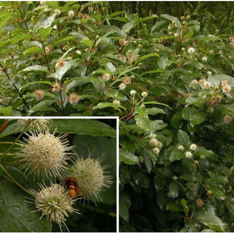 Cephalanthus occidentalis - Bois-Mouton,bois-bouton,