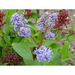 Ceanothus pallidus x 'Marie Blue' ®- lilas de Californie