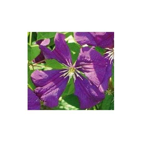 Clematis viticella 'Etoile Violette' - Clematite