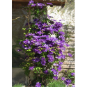 Clematis 'The President' - Clematite