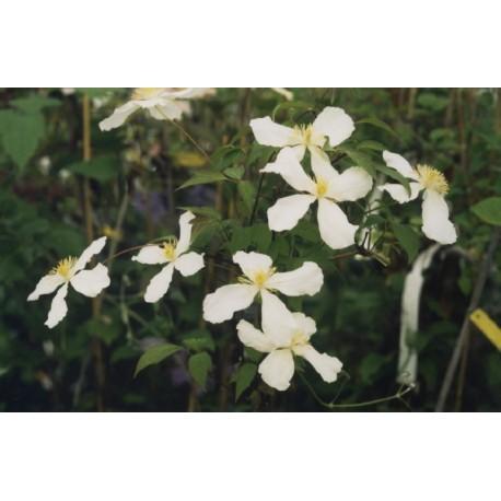 Clematis montana f. grandiflora - Clematite à fleur blanche