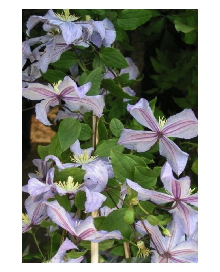 Clematis 'Prince Charles' - Clematite