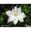 Clematis 'Gladys Picard' - Clematite
