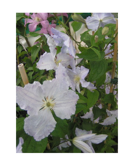 Clematis 'Blue Angel' - Clematite
