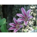 Clematis texensis 'Duchess Of Albany' - Clematite