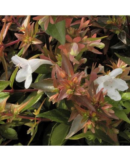 Abelia grandiflora x 'Prostrata' - abelia