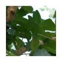 Acer campestre - érables champêtres,