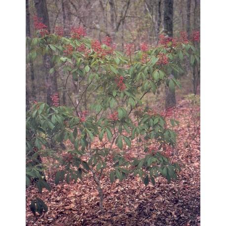 Aesculus pavia - Hippocastanaceae - marronniers