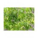 Acer negundo 'Aureovariegatum' - Erable à feuille de frêne
