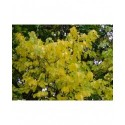 Celastrus orbiculatus - bourreau des arbres