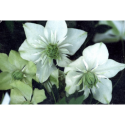 Clematis florida 'Alba Plena' - Clematite