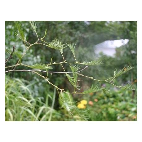 Alnus glutinosa 'Imperialis' - Aulne glutineux à feuillage découpé