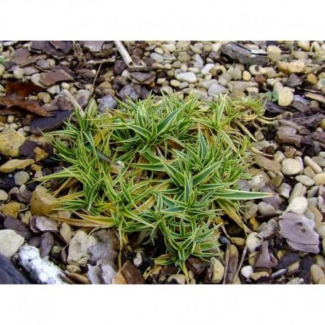 Carex firma 'Variegata'