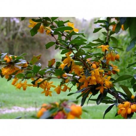 Berberis bidentata x 'Apricot Queen' - berberis, Epine vinette