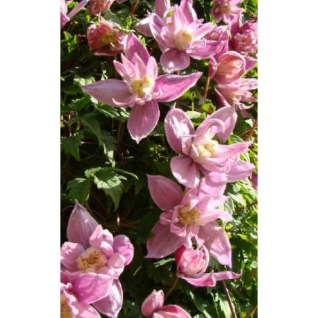 Clematis macropetala 'Markham's Pink' - clématite à grand pétale