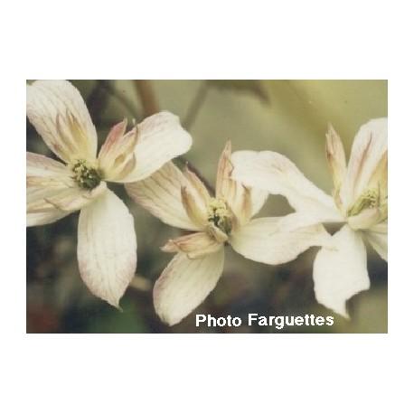 Clematis montana 'Marjorie' - Clematite