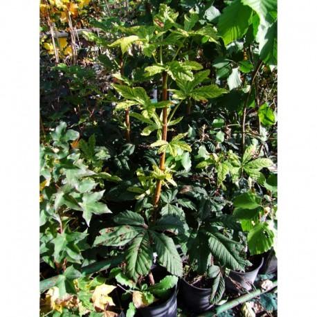 Aesculus hippocastanum 'Fastigiata' - Marronnier fastigié