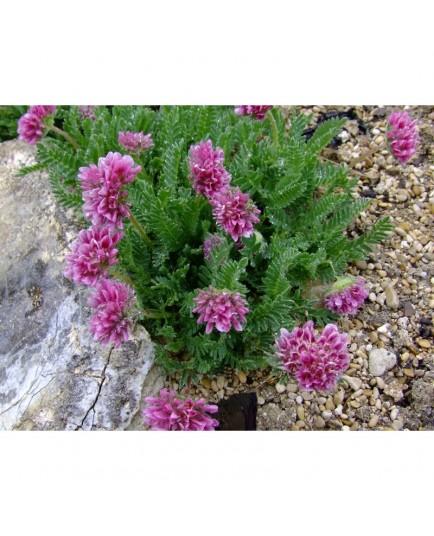 Anthyllis montana 'Rubra' - Anthyllide des montagnes, vulnéraire