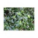 Abelia grandiflora x 'Petite Garden®'